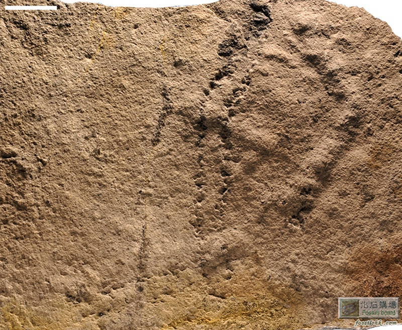 湖北三峽地區發現5.5億年前最古老的足跡化石