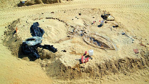智利沙漠发现75具两百万年前史前鲸化石