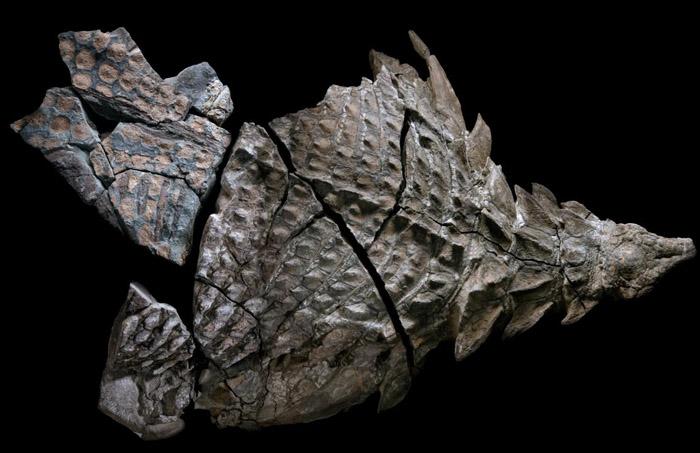 最完整甲龍化石出土 加拿大博物館展出
