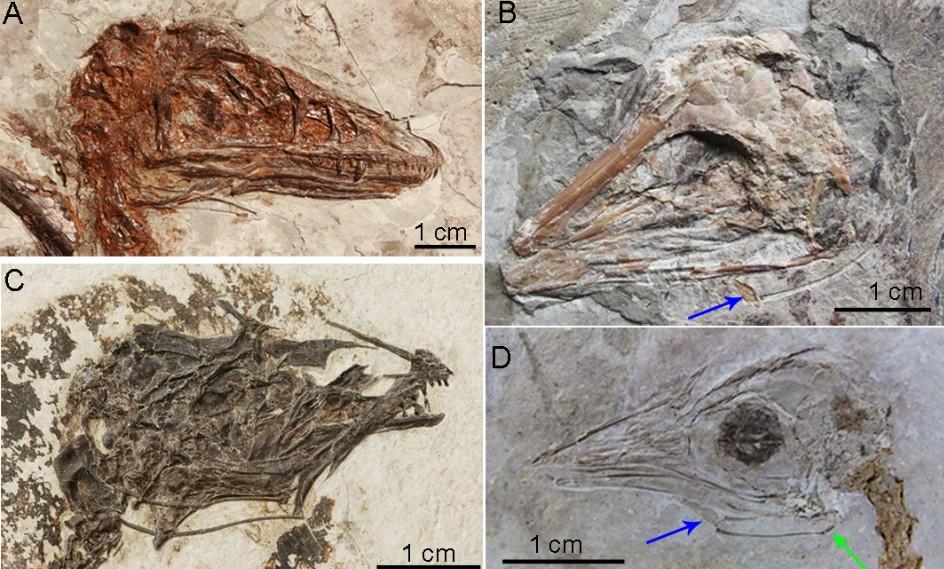中國科學家證實鳥舌的骨化與飛行有關