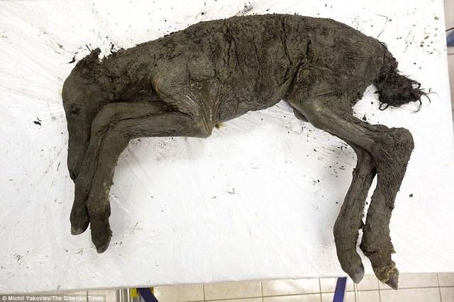 西伯利亞凍土發現4萬年前的完整古代小馬