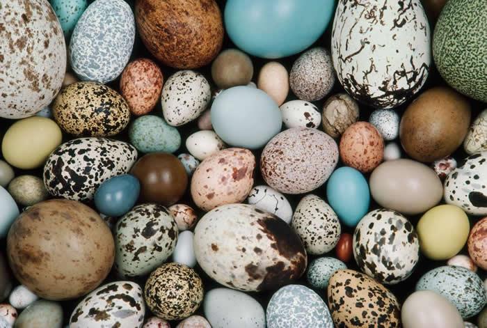 彩色蛋殼揭開恐龍與現代鳥類之間更深遠的關聯