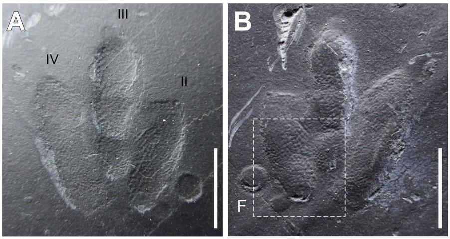 韓國發現留有皮膚印痕的恐龍足跡化石