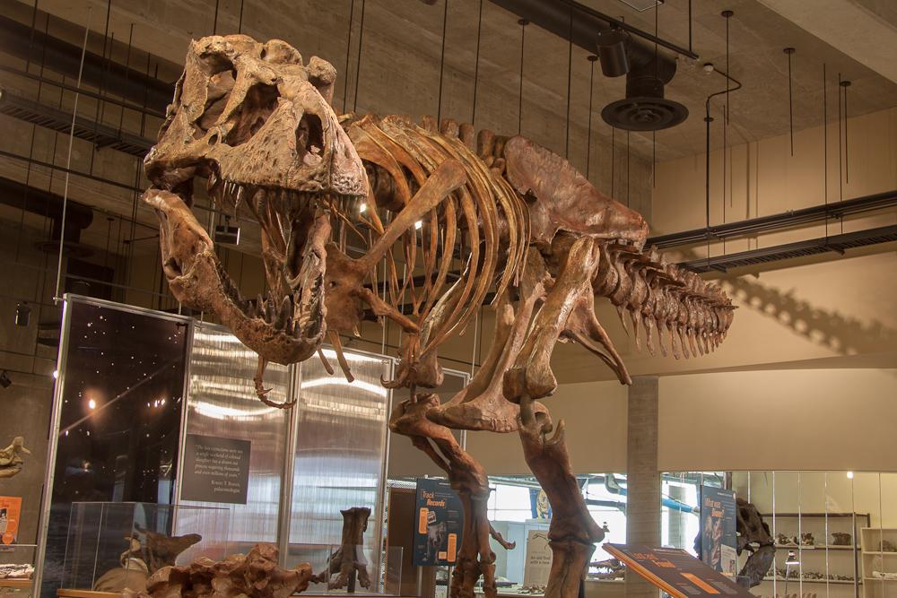 宣佈加拿大發現13米長的Scotty是世界上最大的霸王龍