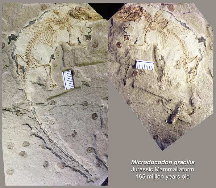 內蒙古侏羅紀動物化石揭示哺乳動物舌骨的早期演化