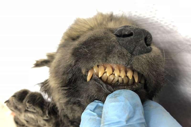 西伯利亞發現1.8萬年前冷凍「幼崽」 可能是狗與狼共同祖先