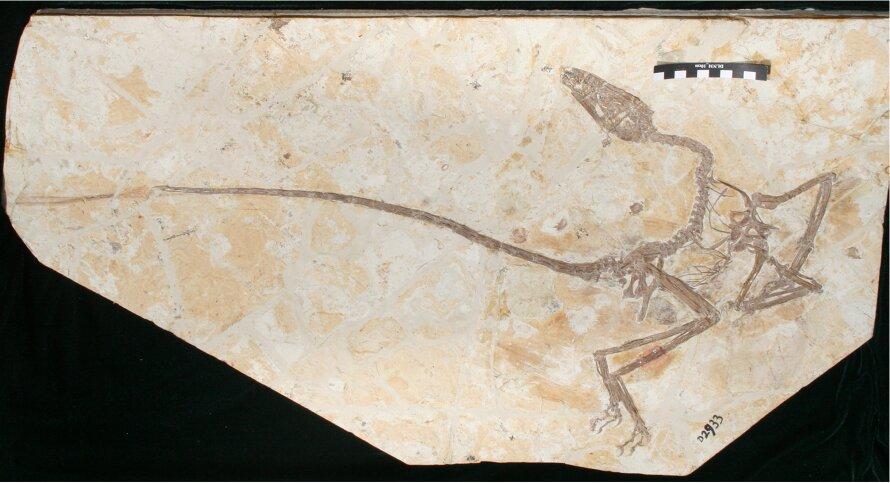 遼寧發現1.2億年前新種小盜龍類羽毛恐龍