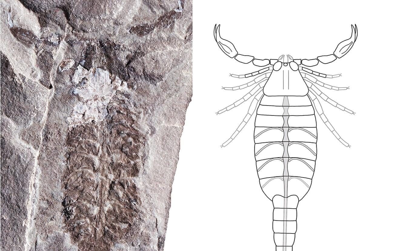 4.3億年前最古老蝎子化石 相信是最早一批登陸之動物